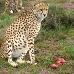 Cheetah in voller Pracht