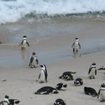 pinguine-boulders-beach-10