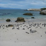 pinguine-boulders-beach-11