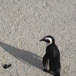 pinguine-boulders-beach-12