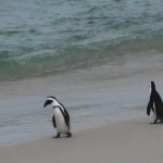 pinguine-boulders-beach-13
