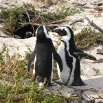 pinguine-boulders-beach-3