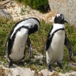 pinguine-boulders-beach-4