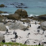 pinguine-boulders-beach-5
