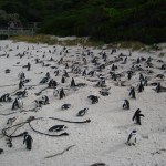 pinguine-boulders-beach-6