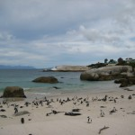 pinguine-boulders-beach-7