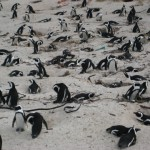 pinguine-boulders-beach-8