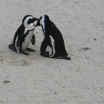 pinguine-boulders-beach-9
