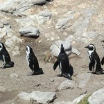 Pinguine in Bettys Bay