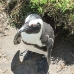 Pinguin in Bettys Bay